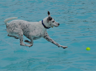 Dog jumping into the pool